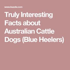 Truly Interesting Facts about Australian Cattle Dogs (Blue Heelers)