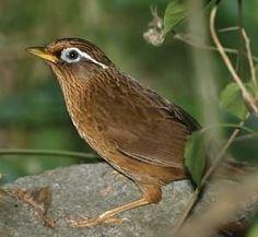 導讀:畫眉鳥被稱為鳥中的歌唱家,它的歌聲婉轉優美。有些養畫眉鳥的朋友往往發現,自己的鳥從買回來就不歌唱,每天呆呆的發悶,從不再開金嗓,好像賭氣似的。畫眉鳥為何不歌唱?本文告訴你,鳥友們一起來了解。
