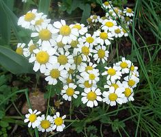 Herb magic for summer solstice. Chamomile is a sun-ruled plant. Use it in spells for a boosting effect. The herb may also be used as a protection for your home.