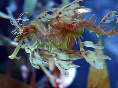 Leafy sea dragons are in the same family as sea horses, but have awesome camouflage appendages that make them indistinguishable from the surrounding plants in the wild.