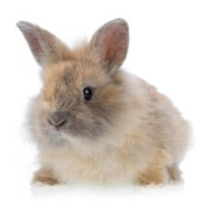 How can i convince my parents to buy me a bunny?