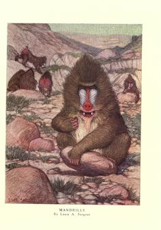 Mandrills.  The wild beasts of the world. v.1.  London :T. C. & E. C. Jack,[1909?] Biodiversitylibrary. Biodivlibrary. BHL. Biodiversity Heritage Library.