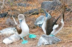 Galapagos Birds: The