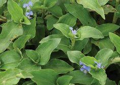 """Trapoeraba, um """"mato"""" que pode ser utilizado no Suco Verde!                                                                                                                                                                                 Mais Easy Garden, Herb Garden, Vegetable Garden, Garden Plants, Home Health Remedies, Plant Therapy, Plantar, Medicinal Plants, Natural Herbs"""