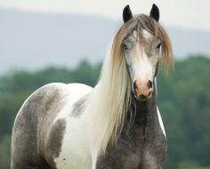 American Gypsy Horses - Silver Pearl