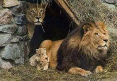 BIRDS & DAFFODILS: LION FAMILY