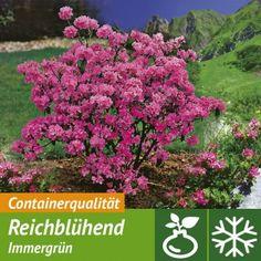 Winterblühende Alpenrose 1