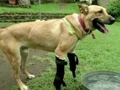 Dog receives prosthetic legs