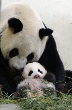 Giant pandas are cute to many, but there are some who can't stand them - The Washington Post