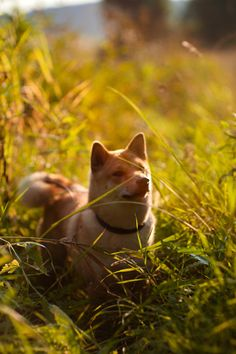 shiba inu. Just my favorite. They look just like little fluffy foxes!