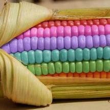 aw, shucks! rainbow corn again, darlin