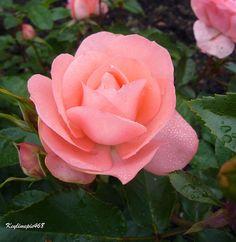Shade Roses: Passionate Kisses Meizebel