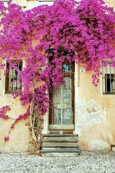 Hot pink bougainvillea blooms.