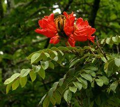 Spathodea campanulata - African tulip