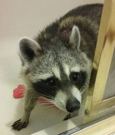 """""""Am I allowed out now?"""" Hope~♡ #raccoon #mapache #mugshot #amiallowed #out…"""