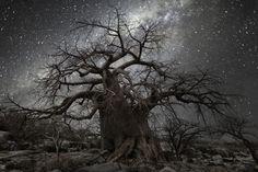 Africa, il paesaggio sembra un quadro: alberi secolari nella notte stellata