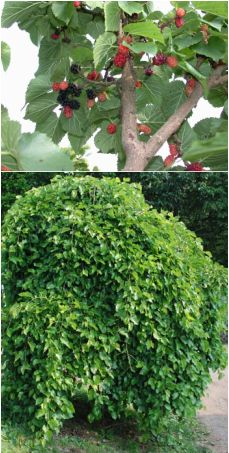 """""""weeping"""" Mulberry (lower pic) ! People who keep backyard chickens might also want to consider planting mulberries so your birds can feast on the wealth of calcium-rich fruit that overflows from the tree every year.  Another native, mulberries are very easy to grow and can survive periods drought.  Besides being eaten fresh, antioxidant-packed berries are great for jamming or homemade wine."""