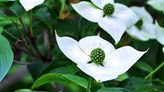ヤマボウシ【シンボルツリー】育て方のポイントと特徴