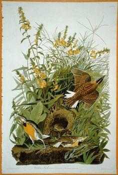 Giclee Print: Illustration from 'Birds of America', by John James Audubon : Audubon Prints, Audubon Birds, Birds Of America, John James Audubon, Fine Art Prints, Canvas Prints, Bird Drawings, Fauna, Wildlife Art