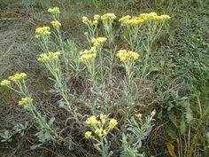 Kocanka piaskowa Slim Body, Natural Medicine, Ikebana, Weed, Spices, Health Fitness, Herbs, Garden, Nature