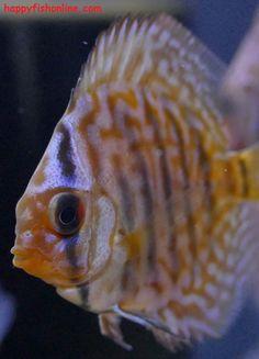 Betta Fish Colors  aquarium  Pinterest  Kampffisch Farben und