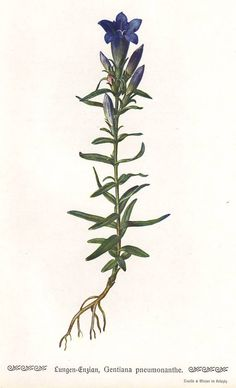 Marsh gentian original 1913 botanical print  by PaperThesaurus