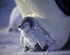 Cute Penguins, Animals, Photos, Penguins, World, Amor, Animal Babies, Insulation, Emperor