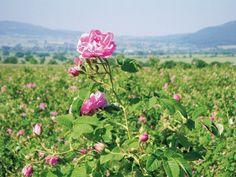 El campo de rosas en Bulgaria. En aromaterapia, la rosa se utiliza por su propiedades relajantes y desestresante en los músculos tensos causados por trastornos nerviosos, trastornos del sueño o para aligerar el estado de ánimo en la depresión.