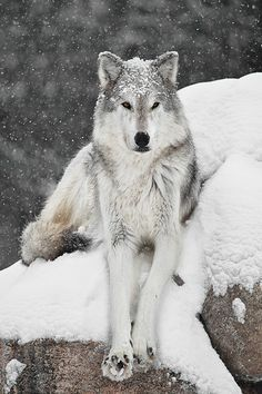 Wolf in snow (by Colleen Dubois)