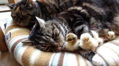 Cats & Chicks Sleep Together!