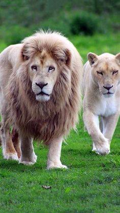 Gorgeous lions ✿⊱╮