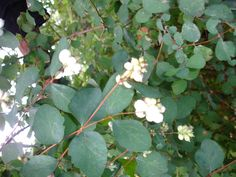 Fast growing, rapid spreading deciduous shrub, - Pinkish-white bell shaped flowers produce conspicuous large white berries which persist through the winter. Plum Garden, Fast Growing, Large White, Idaho, Shrubs, Berries, Seeds, Foundation, Flowers