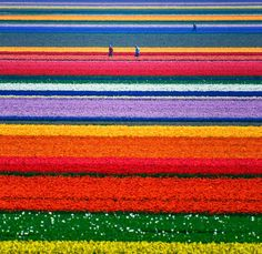 Spring Tulips in Holland!:) gretchnlee Spring Tulips in Holland!:) Spring Tulips in Holland! Tulips Garden, Tulips Flowers, Daffodils, Spring Flowers, Wild Flowers, Spring Wildflowers, Flora Flowers, Blooming Flowers, Flower Petals