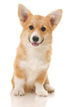 10 Things Only a Pembroke Welsh Corgi Owner Would Understand Z