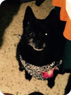 PENELOPE a Schipperke for adoption in Fort Lauderdale, FL who needs a loving home.