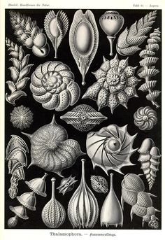 Ernst Haeckel   Shells   http://www.kuriositas.com/2012/01/art-forms-of-nature-ernst-haeckel.html