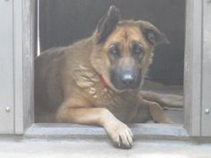 Stunning German shepherd has 48 hours to live in California shelter