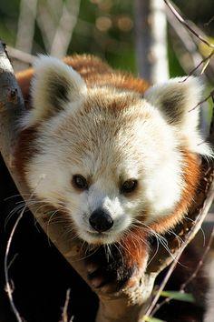 Red panda, always climbing around!