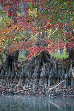 """Cypress Trees in autumn - Louisiana, USA (by David Chauvin). Cypress """"knees"""" are part of their root systems that push up and form fantastical shapes."""