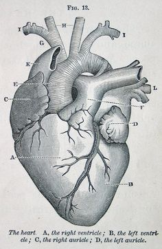 heart, vintage anatomical illustration, from Physiology for Young People, 1884 (via cori kindred on Flickr)