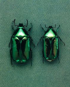 Beetles-June bugs!