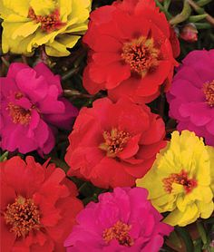 Color Carosel Mix Portulaca Seeds - Perennial Flowers Seeds and Plants at Burpee.com