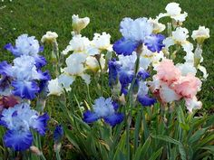 A blog about the iris world for all iris lovers.