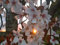 The setting sun in the gap through the blossoms
