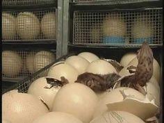 Ostrich  chicks hatching Ostriches, Beautiful Birds, Safari, Food, Essen, Meals, Yemek, Eten