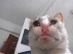 Meme Faces Discover Roundup Of Cursed Cat Images For Those Who Want To Feel Mildly Strange Roundup Of Cursed Cat Images For Those Who Want To Feel Mildly Strange - Memebase - Funny Memes Sad Cat Meme, Cute Cat Memes, Funny Animal Memes, Cute Funny Animals, Funny Cats, Cat Crying, Crying Meme, Image Cat, Mood Pics