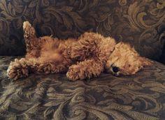 #DoodlePose #DoodleLove #SleepyDoodle .  #Goldendoodles love to lay on their backs!  :)  www.teddybeargoldendoodles.com#EnglishTeddyBearDoodle #DoodleDynasty #GodPeopleDogs #StrictlyDoodles
