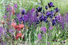 Garden Ideas, Border ideas, Perennial Planting, Perennial combination, Summer Borders, Bearded Iris, Mullein, Verbascum, Salvia Caradonna, cenolophium denudatum