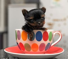 Minuscule moggy: Belle weighs just 170 grams and is so small she has no trouble fitting into a tea cup