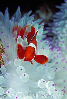License high quality Stock Photo or order Print of Spine-cheek Anemonefish Premnas biaculeatus. Colorful Fish, Tropical Fish, Aquariums, Best Pet Birds, Marine Colors, Life Under The Sea, Beautiful Sea Creatures, Cool Fish, Saltwater Aquarium